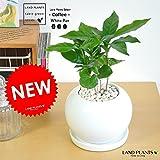 LAND PLANTS コーヒーの木 白色丸型陶器鉢
