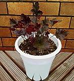 シェードガーデンの彩りに 宿根草 ヒューケラ ココ 5号鉢2年育成物