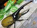 山陽オオクワ倶楽部 極太血統ヘラクレスオオカブト 生体 (♂135ミリ新成虫単品販売)
