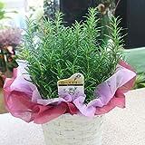 ローズマリー鉢植え 爽やかな香りのする植物 ハーブ 花 ギフト
