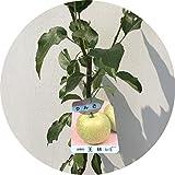 リンゴ 苗木 王林 12cmポット苗 (ワイ性) おうりん りんご 苗 林檎