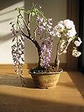藤と桜の寄せ植え盆栽 春に咲く鉢花寄せ植え