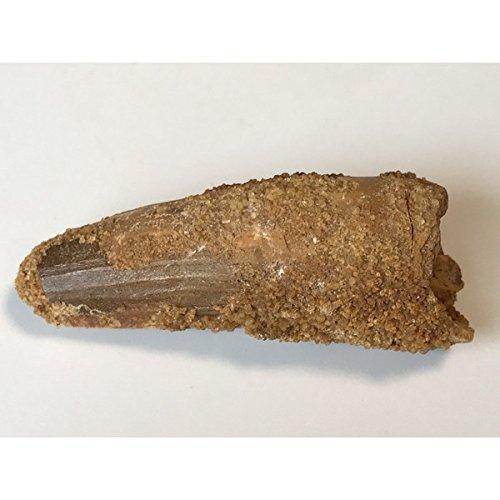 化石 恐竜 スピノサウルス 歯 52.3mm