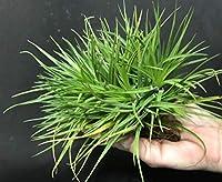 発芽SEEDS:Magnusiana:ティランジア、エア植物FIVEの選択肢!