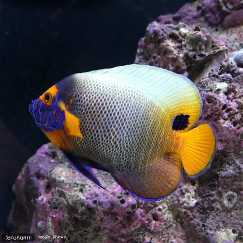charm(チャーム) (海水魚 ヤッコ) ブルーフェイスエンゼル 成魚(1匹) 【生体】