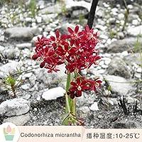コドノルヒザミクランタマルチミート種子輸入希少品種秋水仙属アフリカ球根5粒