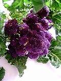 紫茎ブロッコリー 種 10粒