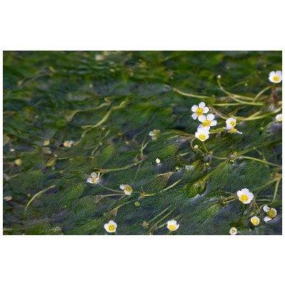 滋賀県 米原市醒ヶ井梅花藻のポストカード葉書はがきハガキ Photo by絶景.com