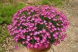 花の大和 9cmポット苗 四季咲き芳香なでしこ かほり 3株 [2月中旬頃よりお届け開始]