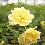 モッコウバラ 黄八重 2年生苗×2ポット