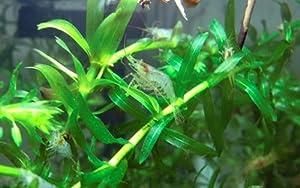ミナミヌマエビ 50匹+死着補償8匹 エビ 飼育用・餌用にも【生体】