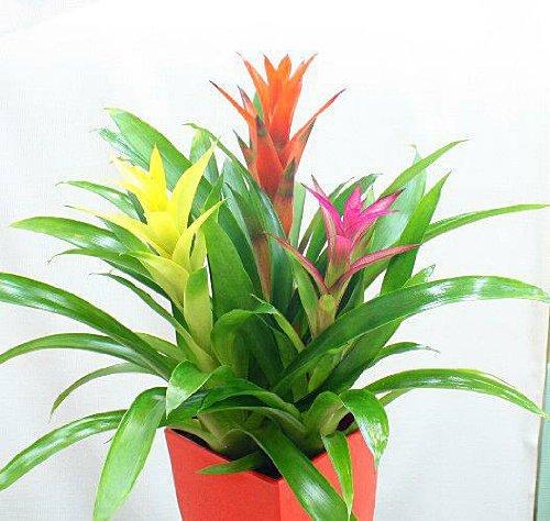 グズマニア 3色ミックス鉢植え 色鮮やかな観葉植物 お中元 ギフト 誕生日プレゼント