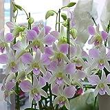 蘭の花 デンファレ 陶器鉢植え 5本立て 淡いピンク色 誕生日、お祝い 花ギフトにおすすめ