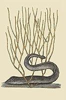Buyenlarge 0–587–30385–9-p2030'ブラックMoray Eel '紙ポスター、20by 30インチ