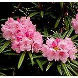 日本シャクナゲ:細葉石楠花 根巻き樹高20~30cm[ホソバシャクナゲのピンク花タイプ]