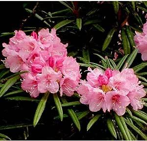 日本シャクナゲ:細葉石楠花 根巻き樹高30~40cm[ホソバシャクナゲのピンク花タイプ]