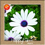 PromotionOsteospermum Seeds Potted Flowering Plants Blue Daisy Flower Seeds for DIY Home & Garden,50 PCS,#GWINRB 3