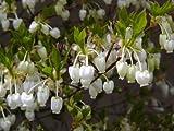 【6か月枯れ保証】【春に花が咲く木】ドウダンツツジ 0.2m