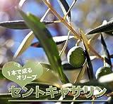 ハーブの苗 オリーブの木 1本でなる セントキャサリン 3年生大苗 庭木