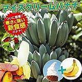 国華園 果樹苗 耐寒性バナナ アイスクリーム 3株【※発送が国華園からの場合のみ正規品です】