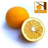 レモン:マイヤーレモン4~5号ポット[酸味が少なくスパイシーな香りの檸檬 柑橘・かんきつ類苗木]