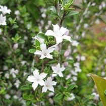 ハクチョウゲ(白丁花)5号ポット