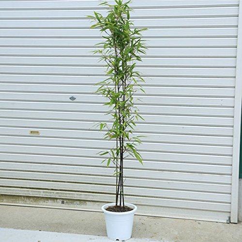 庭木:黒竹(くろちく) 樹高:120cm 全高150cm