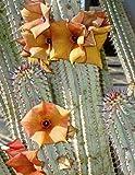 【ガガイモ科多肉植物】Hoodia Parviflora★フーディア ◎サボテンに似たガガイモ科多肉植物◆種子5粒♪ [並行輸入品]