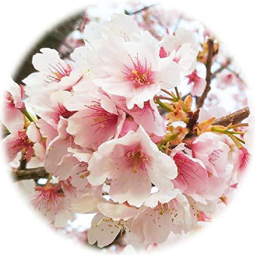 桜 苗木 河津桜 12cmポット苗 かわづざくら さくら 苗 サクラ