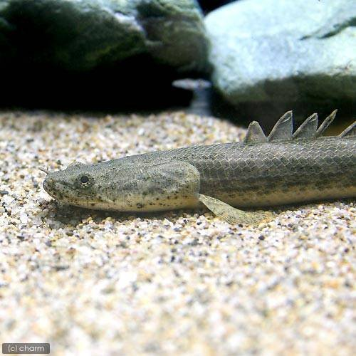 charm(チャーム) (熱帯魚)ポリプテルス・アンソルギー ギニア産 20~24cm(ワイルド)(1匹) 【生体】
