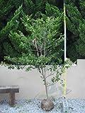 ソヨゴ 単木 樹高H:1500mm
