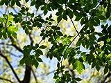 【1年間枯れ保証】【シンボルツリー落葉】アオダモ株立ち 2.0m露地