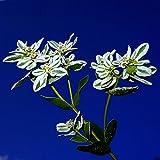 新着ユーフォルビアMarginata種子多年生鉢植え植物の種子中国の花の種子50個/ロット