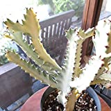 ユーフォルビア ラクテア ホワイトゴースト 5号鉢サイズ 鉢植え 薫る花 観葉植物 おしゃれ インテリアグリーン 小型 ミニ 柱サボテン カクタス 多肉植物 ラクティア 人気 希少