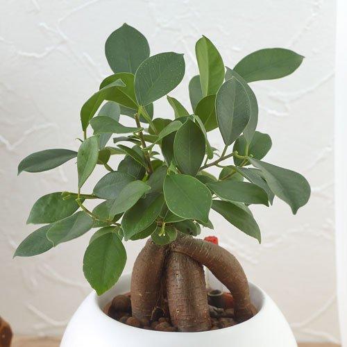 【日比谷花壇|観葉植物】お手入れかんたん観葉植物「人参ガジュマル(ホワイト)」