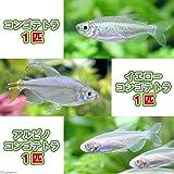(熱帯魚)コンゴテトラ3種セット(各1匹) 本州・四国限定[生体]
