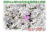 """シバザクラ """"モンブラン""""  5本セット 【白系】(芝桜)"""