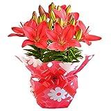 百合 チェリーレッド フラワーギフト 花鉢 母の日ギフト