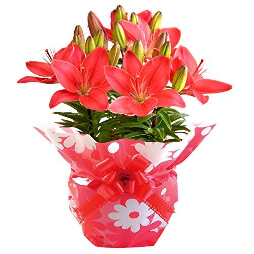 母の日 百合 鉢花 フラワーギフト チェリーレッド 母の日カード付