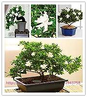 100ガーデニアの種(ケープジャスミン)-Diyホームガーデン鉢植え盆栽、素晴らしい香り&アンプ;美しい花、