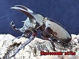 数量限定特価!アトラスオオカブトムシ ♂60.0㎜~ 成虫 ペア 届いてそのまま管理可能なセパレーター付き飼育ケース入り!