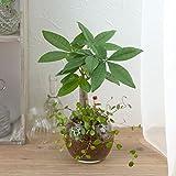 【日比谷花壇 観葉植物】お手入れかんたん観葉植物「パキラ&ミューレンベキア」