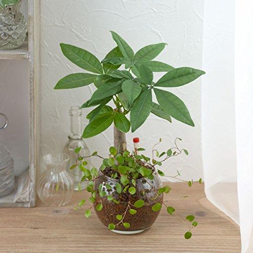 【日比谷花壇|観葉植物】お手入れかんたん観葉植物「パキラ&ミューレンベキア」