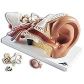 3B社 平衡聴覚器模型(耳模型) 平衡聴覚器3倍大・4分解モデル標準型 (e10)