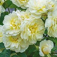 4品種から選べる!イングリッシュローズ1鉢とおまかせつるバラと四季咲きバラ苗3鉢セット バラ苗 (イモージェン)