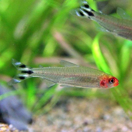 (熱帯魚)ラミーノーズテトラ(約2cm)<12匹>[生体]
