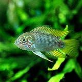 (熱帯魚)アピストグラマ・ボレリー オパール(1ペア) 本州・四国限定[生体]