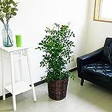 シルクジャスミン ゲッキツ 8号鉢 鉢カバー付 観葉植物 中型 大型 インテリア