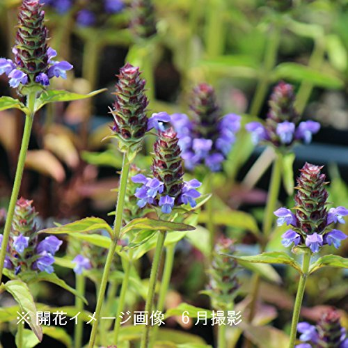 山野草:ウツボグサ (靫草) 9cmポット苗2ポットセット【紫桜館山の花屋】