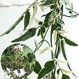 長尺つるもの:ハゴロモジャスミン(羽衣ジャスミン)斑入り 5号ポット長さ1.5m[常緑性][壁面緑化におすすめの苗]